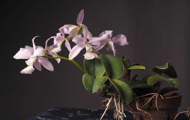 Orquídea-Cattleya-nobilior