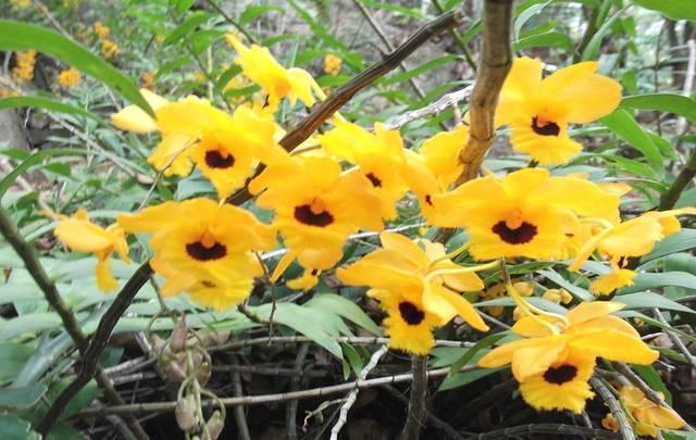 Orquídea-Dendrobium-fimbriatum