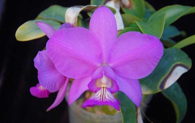 Orquídea-rainha-do-cerrado