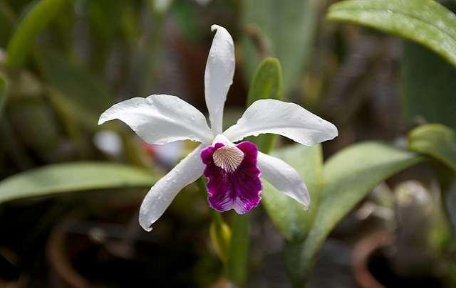 Cattleya-purpurata-branca
