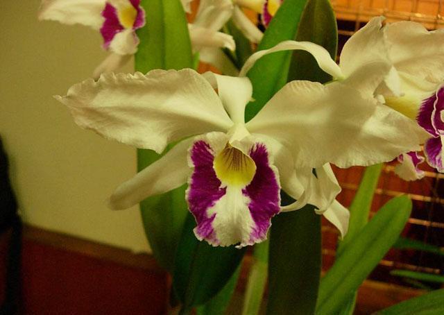 Cattleya-purpurata-oculata
