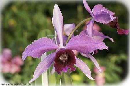 Laelia-purpurata