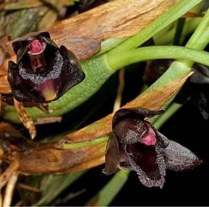 Maxillaria-schunkeana-1