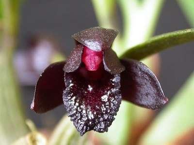Orquídea-negra-flor