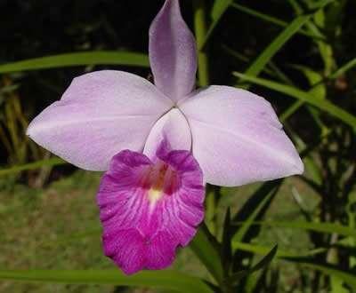 Arundina-Flor
