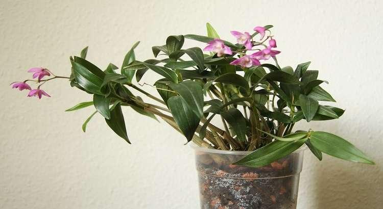 Dendrobium Kingianum – Como Cuidar e Florir (Passo a Passo) 7