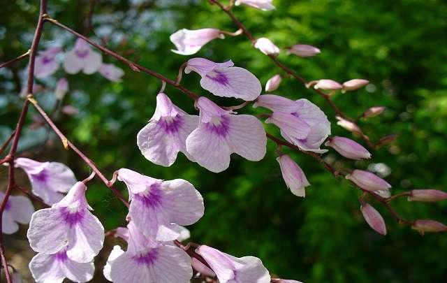 Orquídea-Ionopsis