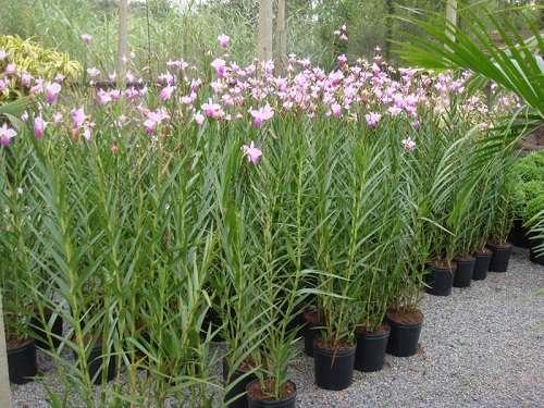 Orquídeas-bambu