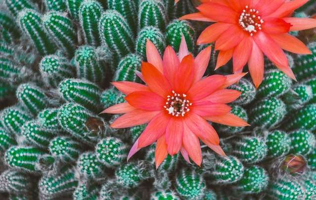 Cactos-flores