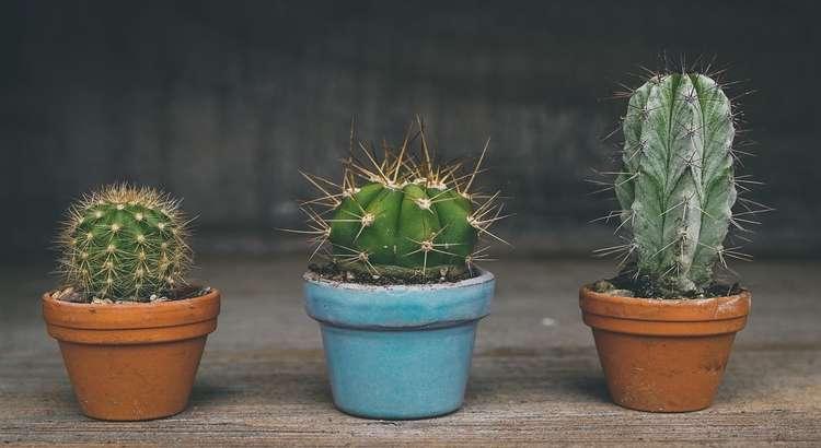 Como Cuidar de Cactos e Mini Cactos (7 Passos Comprovados) 1