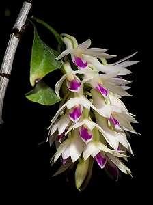 Den.-Amethystoglossum-flores