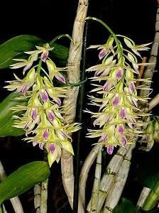 Dendrobium-Amethystoglossum-amarelo