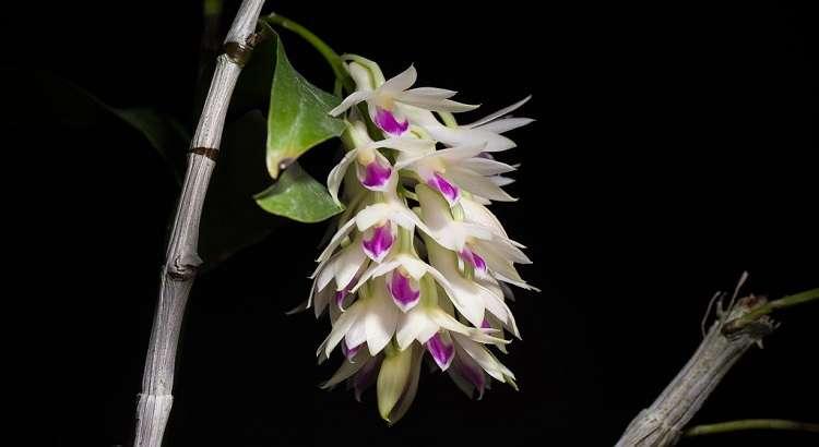 Dendrobium Amethystoglossum - Como Cultivar em 7 Passos 15