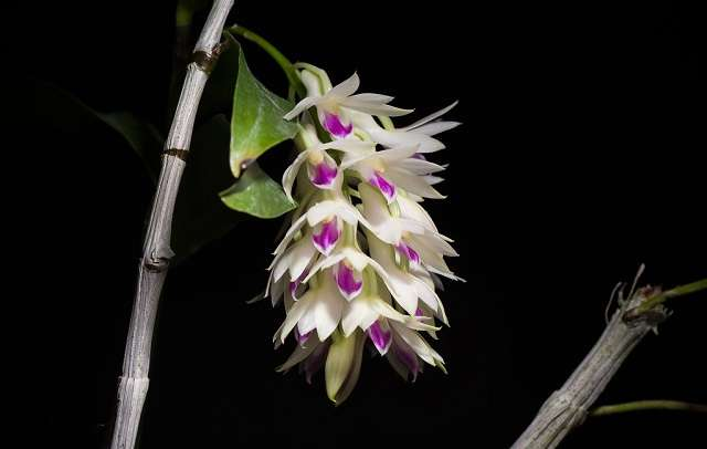 Dendrobium-Amethystoglossum