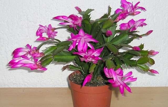 Flor-de-Maio-Schlumbergera-truncata