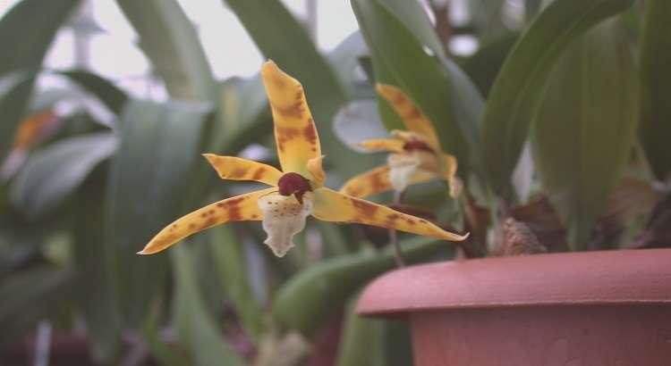 Maxillaria Picta – Descubra Todos Os Segredos Dessa Orquídea 16