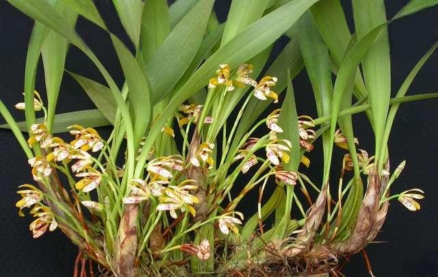orquídea-Brasiliorchis-picta