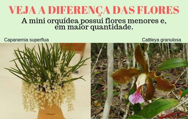 Diferença-entre-mini-orquidea-e-a-orquidea-normal
