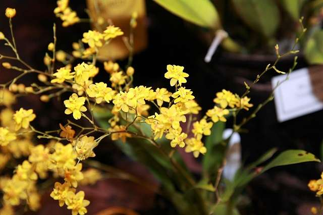 "Oncidium-Twinkle-""Yellow-Fantasy"""