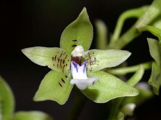 Paradisanthus-micranthus