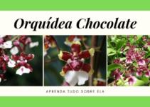 Orquídea Chocolate - História, Curiosidades e Cultivo (2019) 15