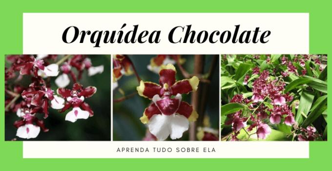 Orquídea Chocolate - História, Curiosidades e Cultivo (2019) 1
