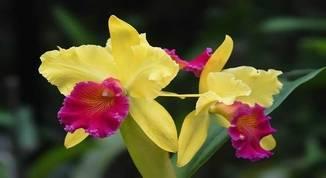 Cattleya-labiata