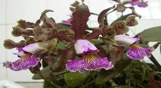 Cattleya-schilleriana