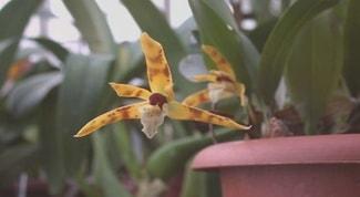 Maxillaria-picta