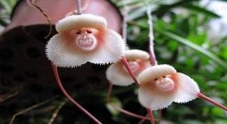 Orquídea-cara-de-macaco