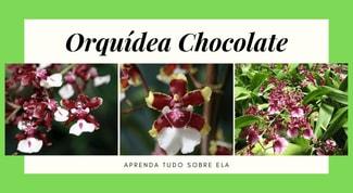 Orquídea-chocolate