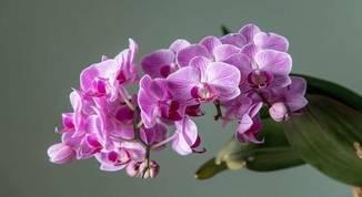 Orquídea-mariposa