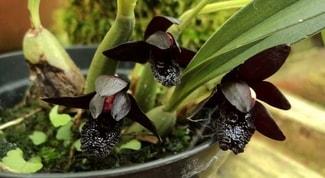 Orquídeas-negras