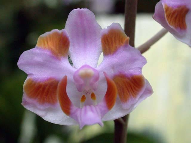 Flor-orquídea-doritis