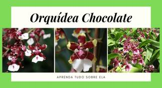 Orquídea-chocolate