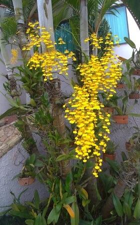 Orquídea-do-Acácio-2
