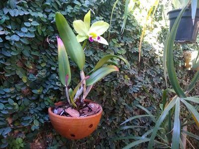 Cattleya-amarela-do-edilson