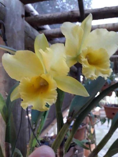 Cattleya-flores-amarelas