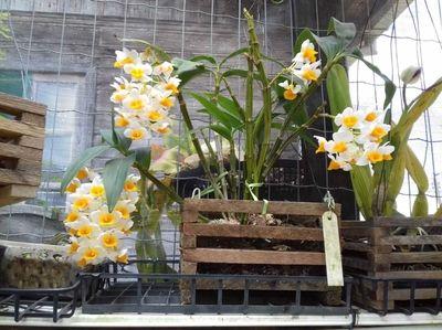 Dendrobium-amarela-e-branca