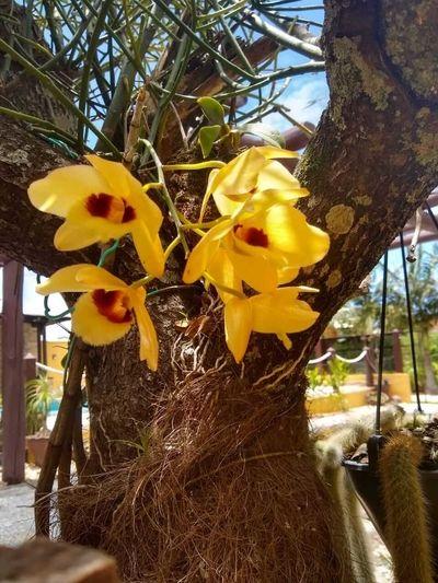 Dendrobium-que-estava-a-14-anos-sem-florir
