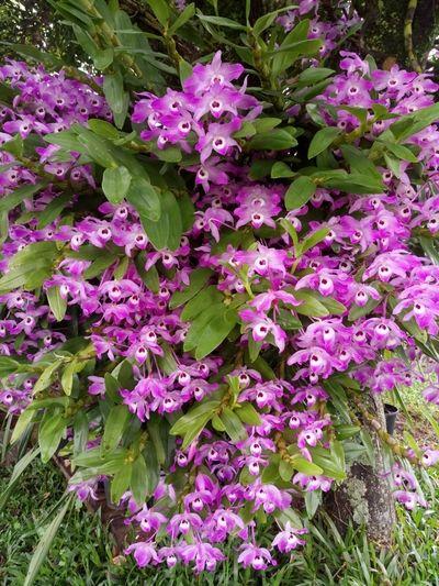 Dendrobium-rosa