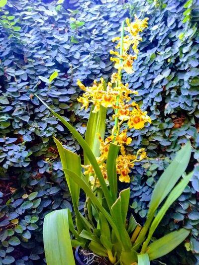 Foto-orquídea-amarela
