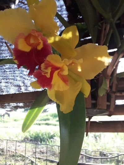 Oietes-orquídea