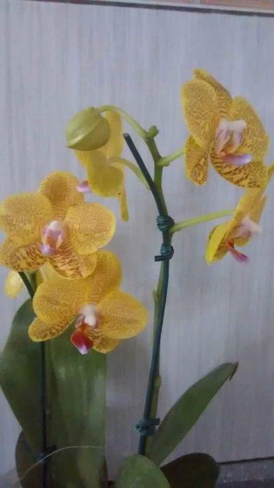 Orquídea-amarela-dos-alunos