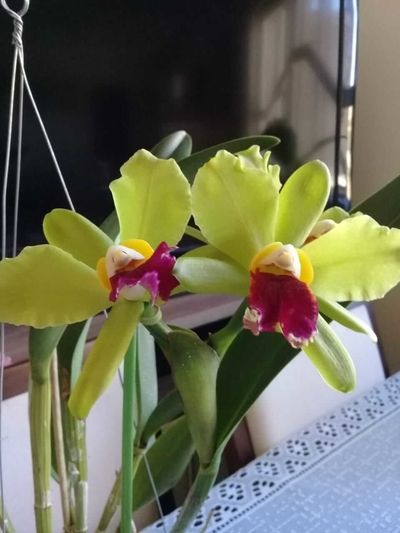 Orquídea-amarela