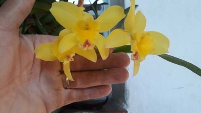 Orquídea-do-claudio