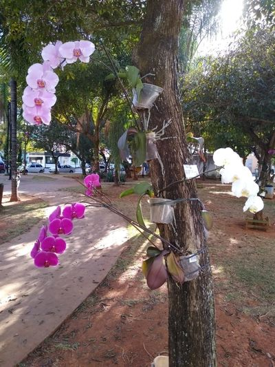 Orquidea-Phalaenopsis-rosa-do-José-Cezário-3