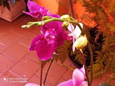 Orquidea-Rosa-da-Dirce