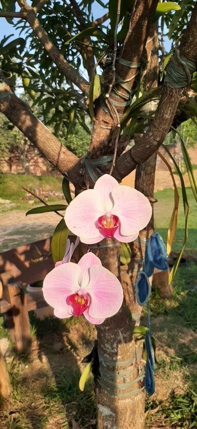Orquidea-da-valeria