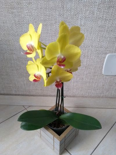 Phalaenopsis-amarela